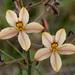 Haemodoraceae - Photo (c) Tig, todos los derechos reservados