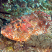 Cook's Scorpionfish - Photo (c) David R, some rights reserved (CC BY-NC)