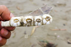 Chelonibia testudinaria image