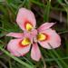 Moraea tricolor - Photo (c) Tig, todos los derechos reservados