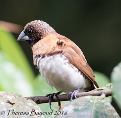 Chestnut-breasted Munia - Photo (c) Theresa Bayoud, some rights reserved (CC BY-NC-ND)