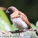Lonchura castaneothorax - Photo (c) Theresa Bayoud, todos los derechos reservados