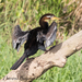 Australasian Darter - Photo (c) Theresa Bayoud, all rights reserved