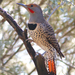 Northern Flicker - Photo (c) wow_arizona, all rights reserved