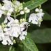 Prostanthera lasianthos - Photo (c) mrwhitehead, todos los derechos reservados