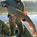 Flathead Catfish - Photo (c) Elin Pierce, all rights reserved