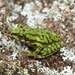 Boophis microtympanum - Photo (c) devinedmonds, all rights reserved