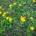 Autumn Buttercup - Photo (c) Paulo Pascoal, all rights reserved
