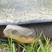 Common Snake-necked Turtle - Photo (c) Jason Pickering, all rights reserved
