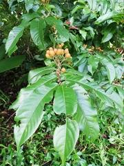 Casearia corymbosa image