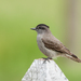 Crowned Slaty Flycatcher - Photo (c) Jorge Schlemmer, all rights reserved
