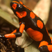 Harlequin Poison Frog - Photo (c) alejo1ramirez, all rights reserved