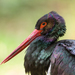 Black Stork - Photo (c) The Wasp Factory, some rights reserved (CC BY-NC-SA)