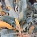 Chrysolepis sempervirens - Photo (c) rachaelmposton, όλα τα δικαιώματα διατηρούνται