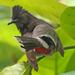 Pycnonotus cafer - Photo (c) J. N. Stuart, όλα τα δικαιώματα διατηρούνται, uploaded by James N. Stuart