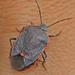 Conchuela Bug - Photo (c) J. N. Stuart, all rights reserved, uploaded by James N. Stuart