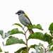 Parkerthraustes humeralis - Photo (c) Marc Faucher, todos los derechos reservados