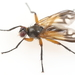 Moscas Cazadoras de Cochinillas - Photo (c) Graham Montgomery, todos los derechos reservados