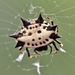 Spinybacked Orbweaver - Photo (c) Kimberlie Sasan, all rights reserved