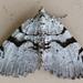 Macaria bitactata - Photo (c) Buddy, todos los derechos reservados