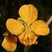 Senna occidentalis - Photo (c) Jeff Stauffer, όλα τα δικαιώματα διατηρούνται