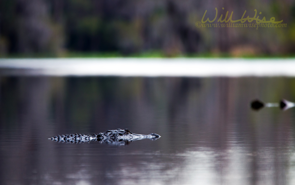 Alligator swimming in dark swamp water