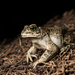 Variable Toad - Photo (c) Konstantinos Kalaentzis, all rights reserved