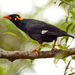 Southern Hill Myna - Photo (c) PJeganathan, some rights reserved (CC BY-SA)