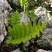 Polypodium macaronesicum macaronesicum - Photo (c) wojtest, all rights reserved