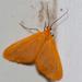 Eubaphe unicolor - Photo (c) Jason Penney, todos los derechos reservados