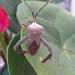 Acanthocephala alata - Photo (c) Sandino Guerrero, all rights reserved