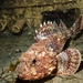 California Scorpionfish - Photo (c) Tim McDade, all rights reserved