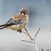 Falco sparverius sparverius - Photo (c) David Beadle, todos los derechos reservados, uploaded by dbeadle