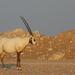 Orix de Arabia - Photo (c) Carlos N. G. Bocos, todos los derechos reservados