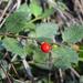Crossopetalum ilicifolium - Photo (c) Pablo L Ruiz, todos los derechos reservados