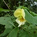 Impatiens scabrida - Photo (c) Aisling, all rights reserved