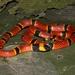 Serpiente Coralillo de la Sierra Madre del Sur - Photo (c) Wero Ostria, todos los derechos reservados