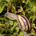 Chocolate-band Snail - Photo (c) Konstantinos Kalaentzis, all rights reserved