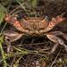 Rhodes Freshwater Crab - Photo (c) Konstantinos Kalaentzis, all rights reserved