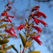 Penstemon coriaceus - Photo (c) Israel Rodriguez, algunos derechos reservados (CC BY-NC-ND)