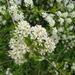 Prunus mahaleb - Photo (c) Nicolas Baca Castex, כל הזכויות שמורות