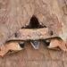 Amplypterus panopus - Photo (c) Roger C. Kendrick, todos los derechos reservados