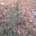 Atriplex oblongifolia - Photo (c) Марина Анкудинова, todos los derechos reservados