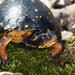 Spotted Turtle - Photo (c) J.P. Lawrence, all rights reserved
