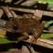 Mantidactylus ulcerosus - Photo (c) devinedmonds, all rights reserved