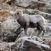 Rocky Mountain Bighorn Sheep - Photo (c) John Zemaitis, all rights reserved