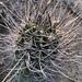 Echinopsis leucantha - Photo (c) Rafa Lara, todos los derechos reservados