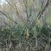 Salix viminalis - Photo (c) Adelin Collette, כל הזכויות שמורות