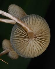 Psilocybe makarorae image