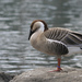 Swan Goose - Photo (c) stirwise, some rights reserved (CC BY-NC-ND)